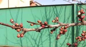 Фото завязей абрикоса, vremena-goda.su