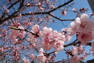 Фото цветения абрикоса, fotki.yandex.ru