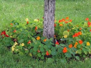 На фото - посадка настурции вокруг абрикоса, vashsad.ua