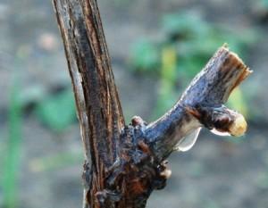 На фото - обрезка лоз винограда весной, groni.ru