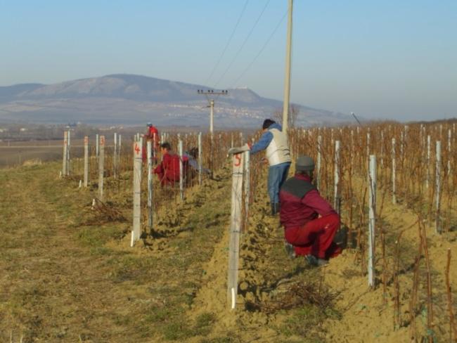 Обрезка винограда когда и как правильно ее делать - e9db
