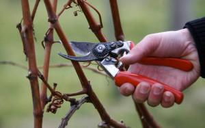 Фото обрезки побегов винограда, flogrower.ru