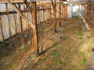 На фото - зимняя обрезка винограда, vinograd.by