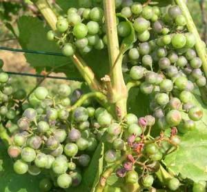 Фото грибкового вируса оидиум на винограде, dom-stroy2000.ru