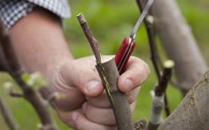 Прививка почкой – окулировка плодовых деревьев и подготовительные работы