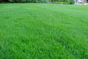 Как посеять газон – выбираем подходящий вид