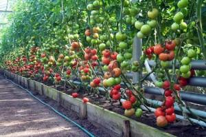 Полив помидор в теплице – меняем дозировку
