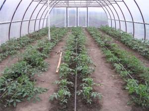 Правильный полив томатов в теплице – капельный способ орошения