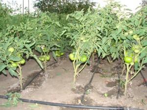 Правильный полив томатов в теплице – капельный способ орошения фото