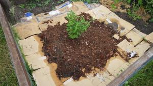 На фото - картонный способ борьбы с сорняками, llorax.livejournal.com