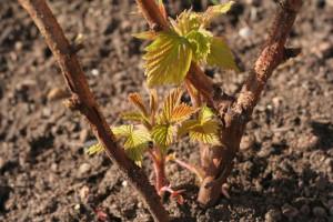 На фото - зеленые черенки малины, sadogolik.ru