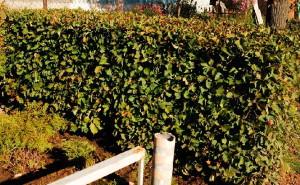 На фото - изгородь из боярышника для палисадника, dimon-dom.ru