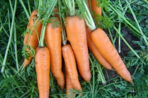 Семена моркови – лучшие поздние сорта фото