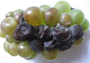 Фото черной гнили винограда, vinograd.info