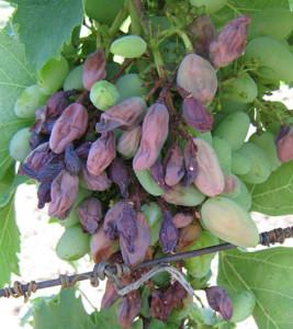 На фото - белая гниль винограда, vinograd.info