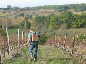 Фото профилактической обработки винограда от гнили, hozvo.ru