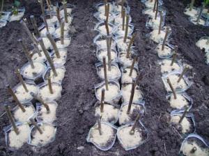 На фото - посадка черенков чёрной смородины, lukhof.name