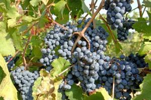 Фото сорта винограда Пино Нуар, farmer35.ru