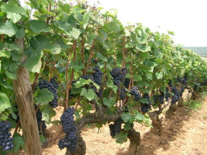 На фото - выращивание винограда Пино Нуар, winestyle.ru
