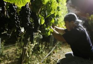 На фото - урожай винограда Пино Нуар, bigpicture.ru