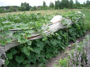 Фото посадки огурцов, shkolazhizni.ru