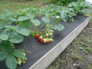 На фото - мульчирование огорода от сорняков черной пленкой, zooeco.com