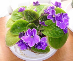 На фото - растущая фиалка, fialkazel.blogspot.com
