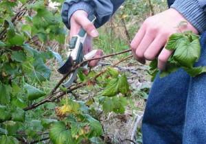 На фото - омолаживающая обрезка смородины, borona.net