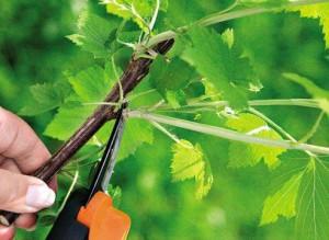 Фото летней обрезки смородины, miragro.com