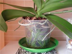 На фото - политая орхидея, gileya.kherson.ua