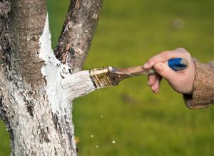 На фото - побелка деревьев в саду ранней весной, supersadovnik.ru