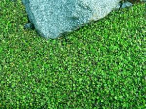 Фото газона из почвопокровных растений, mone.pro