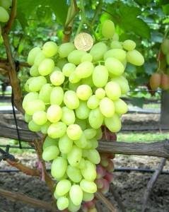 Фото созревания винограда Долгожданный, vinograd-ermakova.com.ua