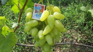 На фото - крупные ягода винограда Долгожданный, vinogradsaratov.ru