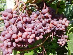 На фото - урожай винограда Кишмиш Запорожский, moyvinogradnik.ru
