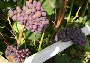 Фото кустов винограда Кишмиш Запорожский, myvinogradnik.ru