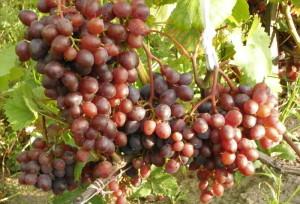 Фото выращивания винограда Кишмиш Запорожский, myvinogradnik.ru