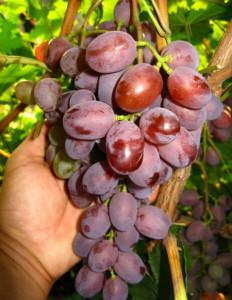 Фото винограда Виктория, photoshare.ru