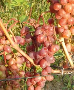 На фото - урожай винограда Виктория, myvinogradnik.ru