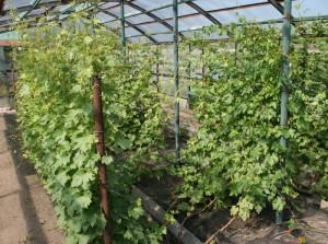 На фото - элитные виноградные саженцы Виктории, идея-малого-бизнеса.рф