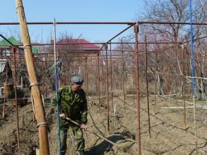 На фото - разокучивание винограда Виктория, fotki.yandex.ru