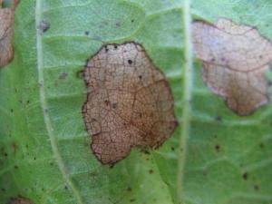 На фото - пятна антракноза на листьях винограда, vinograd.cc