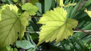 Фото хлороза листьев винограда, youtube.com
