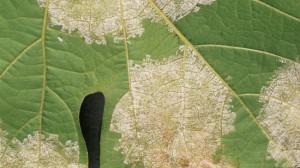 Фото ложной мучнистой росы винограда, agro.basf.ru