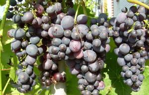 Фото винограда устойчивого к заболеванию милдью, zpitomnik.ru