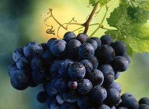 На фото - устойчивый к милдью виноград Данко, agrosecret.ru