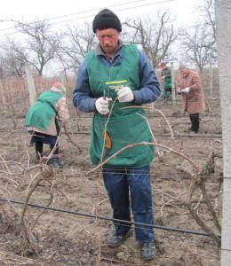 Фото обрезки винограда, pk.kiev.ua