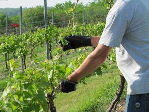 Фото прореживания кустов винограда, fb.ru