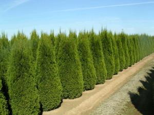 Фото деревьев туя, homester.com.ua
