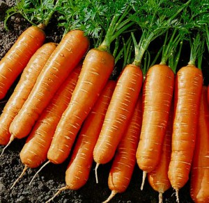 Фото корнеплодов моркови, ogorod.online.ua
